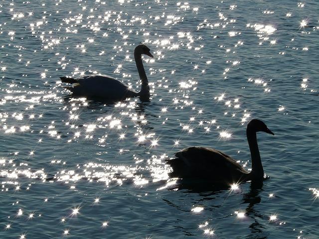 labutě ve vodě