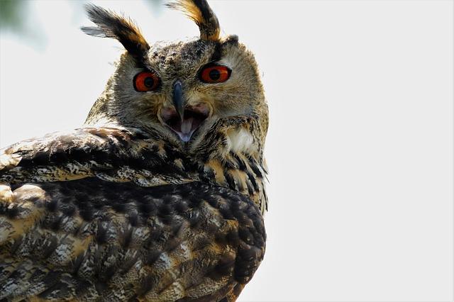 eagle kulíšek