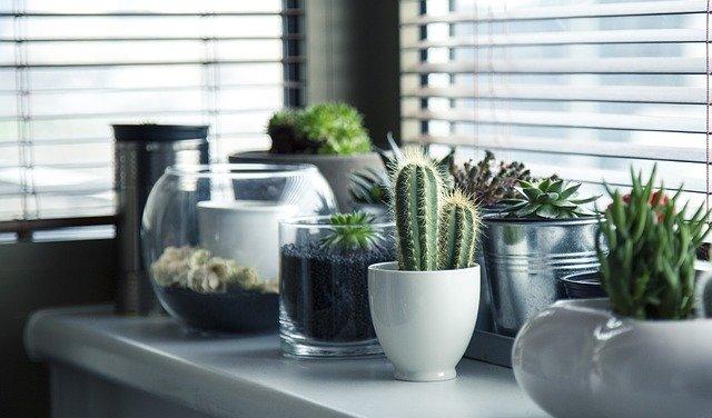 kaktusy na parapetu